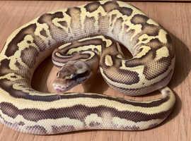 Male Pastel Mojave Leopard ball python