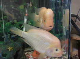 Red Devil pair for sale