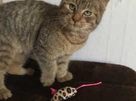 Purr-fect SH Pixiebob Boy Kitten