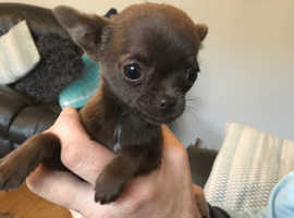Tiny Girl Teacup Chihuahua