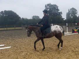 14.2h to make 15h+ Appaloosa mare