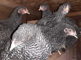 Plymouth rock hens