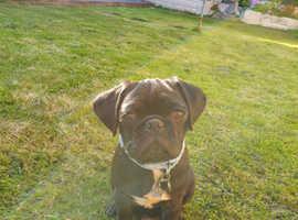 Bruno he is a pug