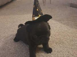 Kc reg pug puppy