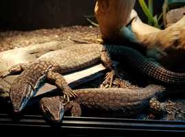 Ackie Monitors/Dwarf Spiny Tailed - Varanus Acanthurus