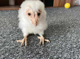 Baby barn owls for sale