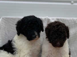 Beautiful Standard Poodle Puppies Chocolate & Parti