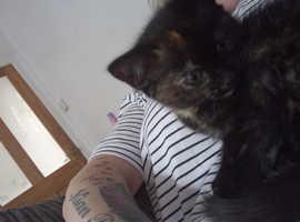9-week female kitten