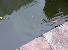 Unwanted fish needs good home free