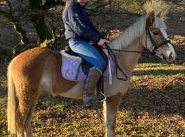 Rare Haflinger mare looking for new home