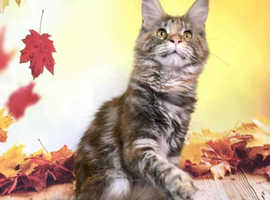 Gccf active Silver tortie Maine Coon girl