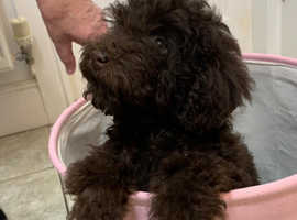 CHOCOLATE TOY POODLES FOR SALE KC