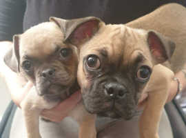 Pug x Frenchie pups ready to go now