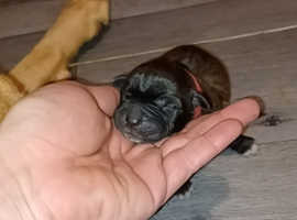Xl bully pups
