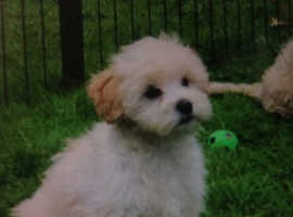 Beautiful small Lhasa x tiny toy poodle pups