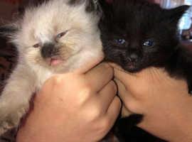 3 beautiful ragamuffin kittens
