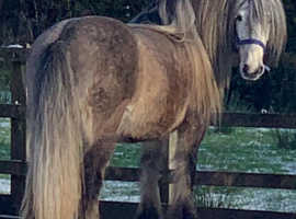 Highland gelding: 7 years old as companion pony