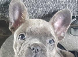 Beautiful kc french bulldog pups