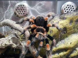 mexican red knee tarantula 3.5 inch leg span
