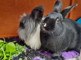 Neutered and vaccinated bonded pair