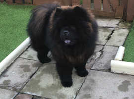 Champion bloodlines chow chow stud