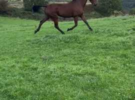 Stunning 15.3/16 ride and drive gelding