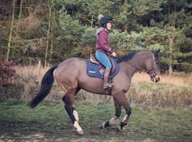 16.1 gelding for share/loan