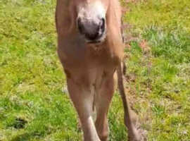 Stunning Filly Foal,small competition horse