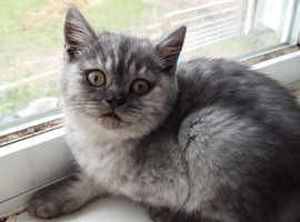 Silver shaded British shorthaired female kitten