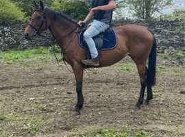 Lovely 15.2 mare