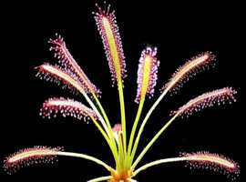 Carnivorous, insect eating plants, sticky sundews