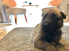 Dutch herder puppies for sale