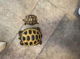 Horsefield tortoise and leopard tortoise