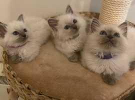 Gorgeous Pedigree Ragdoll Kittens GCCF REGISTERED