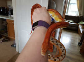Male Carolina corn snake