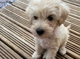 *Ready Now* Miniature Schnoodles *health tested parents*