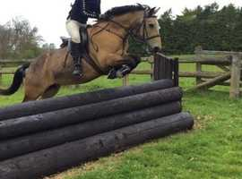 *Stunning 14.2hh Dun PC/SJ/ Eventing Mare For Sale*