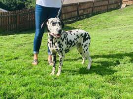 Milo the Dalmatian boy for stud