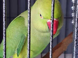 Ring neck female and full size cage