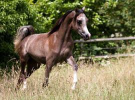 Grey Arabian colt