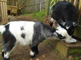 2 x Pygmy Goat Wethers