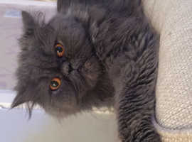 Adorable Persian kittens looking for forever indoor homes