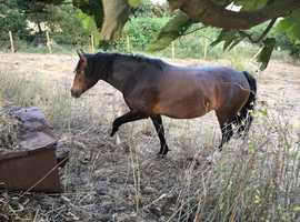 STUNNING welsh sec D mare