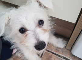 4 month old Westie for sale