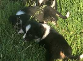 Stunning border collie puppies