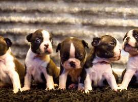 Gorgeous Boston terrier puppy