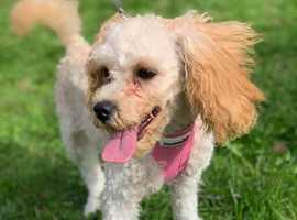 REHOME - Cindy 6 month old cavapoo looking for forever home