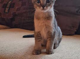 Beautiful Chausie x Blue Nebelung kittens