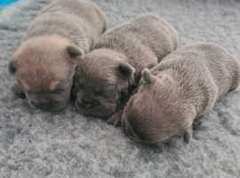 Kc Registered  French Bull Dog Puppies