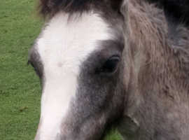 Buckland Dilys welsh A Grey Filly